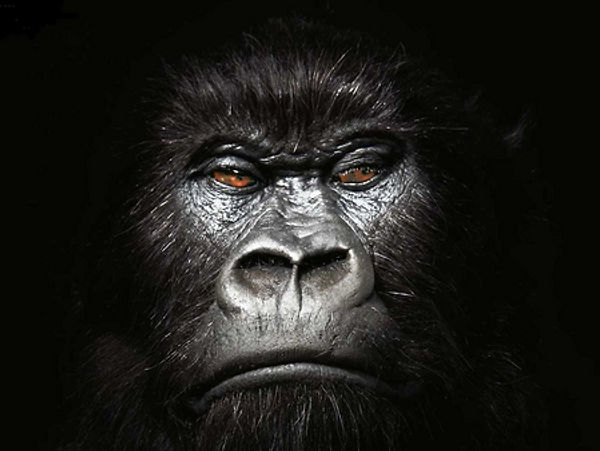 gorilla-face-wallpaper-1.jpg