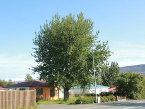 Öspin við Þingvallastræti 28