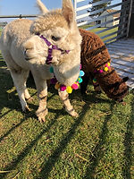 Norfolk Wedding Alpacas Summer.JPG