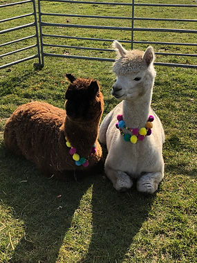 Norfolk Alpacas - Wedding Alpacas.JPG