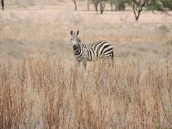 Walking safari med zebraer helt tæt