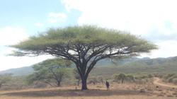 Akacietræer og masaier