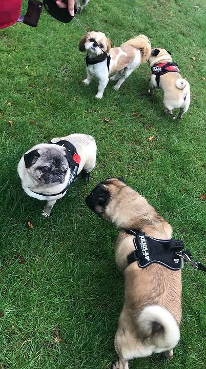 Pugs on a walk.jpg