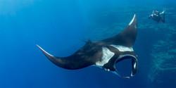 Manta-Ray-Diving-Socorro