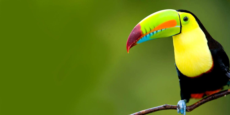 722989-toucan-costa-ricas-rainforests-an