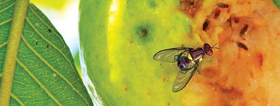 fruit fly 2.jpg