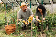front-view-senior-couple-harvesting-toma