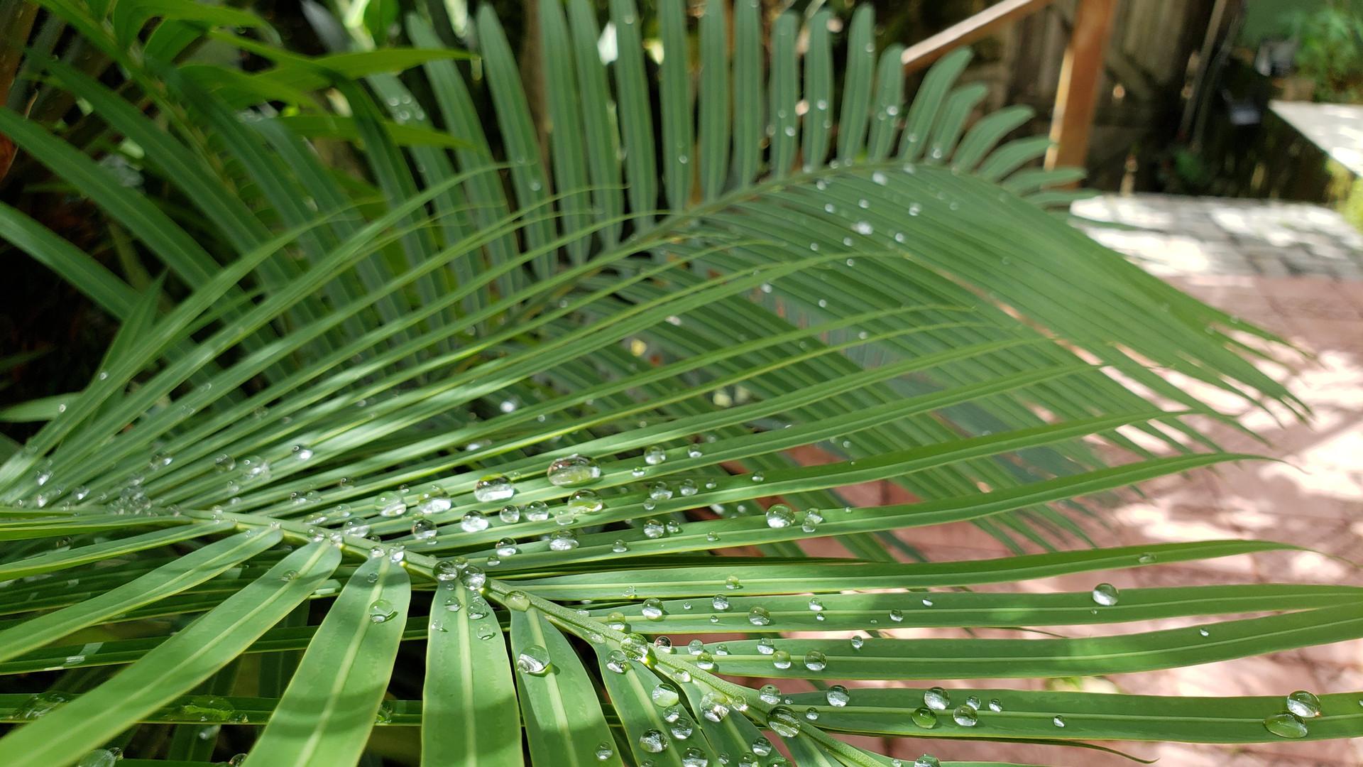 Orvalho nas palmeiras