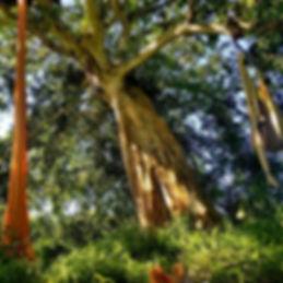 silk tree.png.jpg