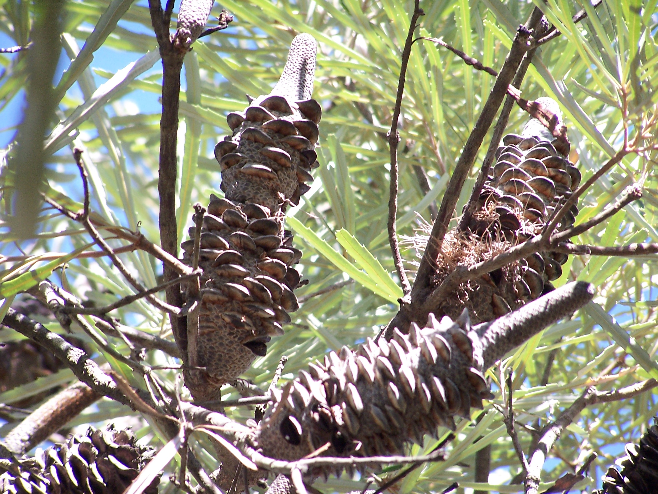 Banksia seed pods