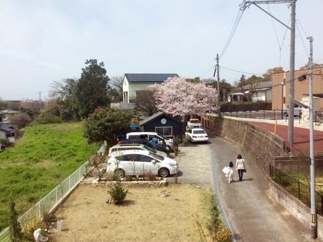 桜の季節まっさかり