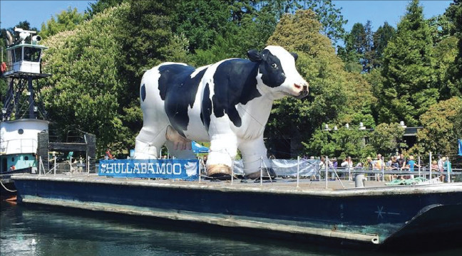 inflatable-cow-replica-on-ferry