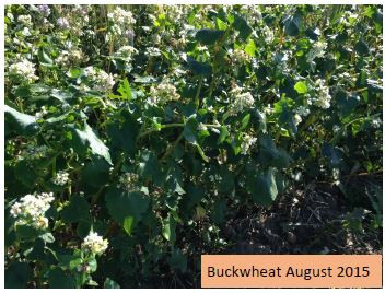 Forage Quality of Monoculture Cover Crops Tested in Fairview