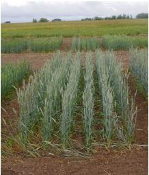 Testing of some Wheat & Triticale varieties for Greenfeed & Silage - Regional Silage Variety Trial
