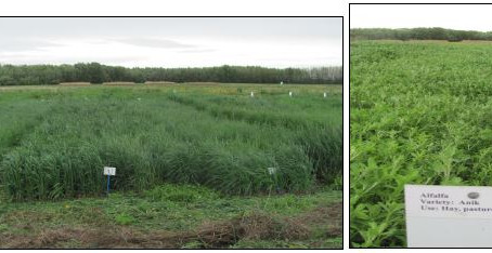 Perennial Forage Demonstration in Fairview: Yield & Feed Value Following Third Year of Cutting