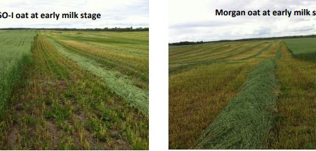 Stage at Swathing Oats for Swath Grazing