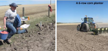 Testing of Four Corn Hybrids for Extending the Grazing Season
