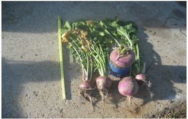 Forage Yield and Quality from Turnips, Oats and Turnips-Oats Intercrop