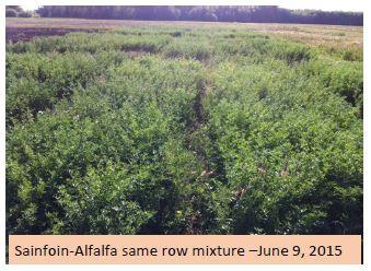 Sainfoin – Alfalfa Mixture Trial