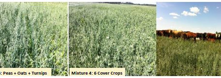 Demonstration of Cover Crop Mixtures for Grain and Livestock Grazing