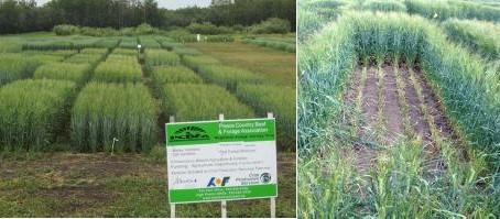 Regional Silage Variety Trials: Barley Varieties