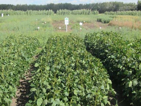 Demonstration of 14 Soybean Varieties for Forage