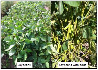 Evaluation of Forage Type Soybeans and Peas for Forage Yield and Quality