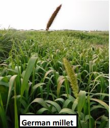Warm Season and Cool Season Cereals: Forage Yield & Quality