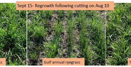 Annual Forage Crop Mixtures for Beef Swath Grazing & Dairy Silage