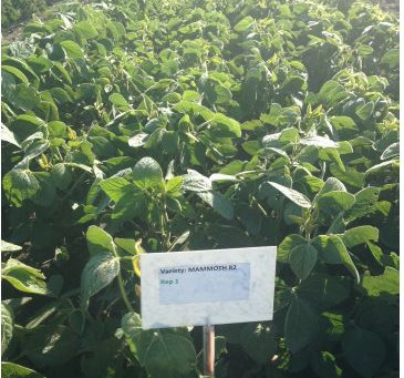 Testing of 14 Soybean Varieties for forage