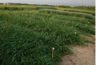 Annual & Italian Ryegrass Variety Trial For Forage and Regrowth Potential