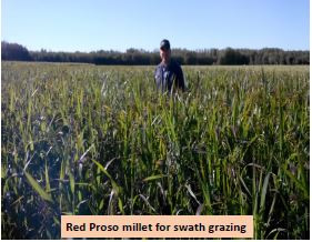 Mixtures of Fall Rye, Sweet Clover and Proso Millet for Grazing