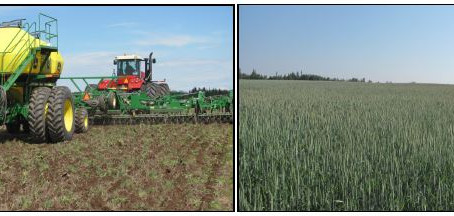 Triticale Varieties for Swath Grazing