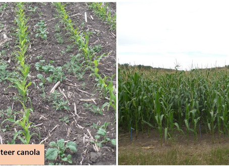 Managing Roundup Ready Canola in Corn