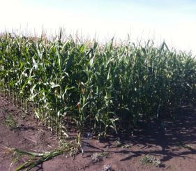 Evaluation of Low Heat Unit Corn Hybrids Compared to Barley for Grazing