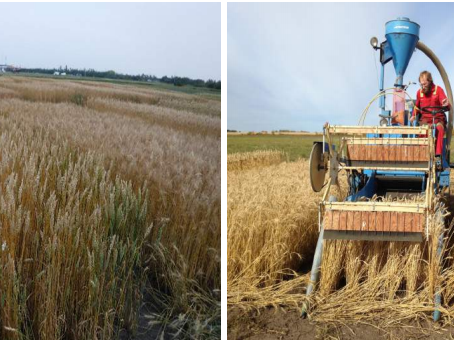 Comparison of Yield and Agronomic Performance of Common CWRS & CPSR Wheat Varieties
