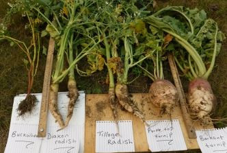 Progress Report on Soil pH and Nutrient Improvement with Forage Brassicas and Buckwheat