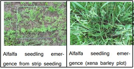 Sod Seeding of Perennial Forages into Strips