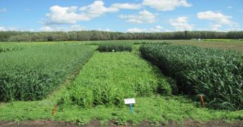 Evaluation of Warm Season Cereal Crops for Forage & Feed Value