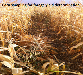Testing of Corn Hybrids