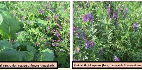 Multi-species Cover Crop Mixtures (Cocktails) for Silage