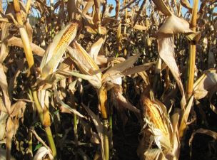On-Farm Evaluation of Corn, Millet and Sorgum for Yield, Quality and Grazing