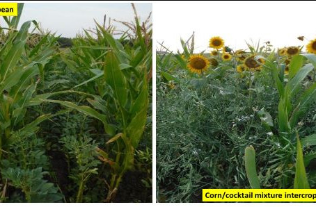 Corn Intercropping Systems to Improve Corn Forage Quality