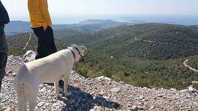 Bella, the (once) stray, white dog of Voula, helping out with the search for cyanide ampules on South Hymettus Mtn. in 2018