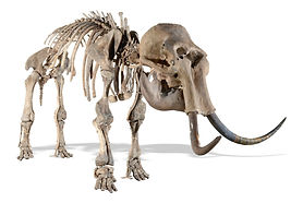 Mammoth-Skeleton-2.jpg