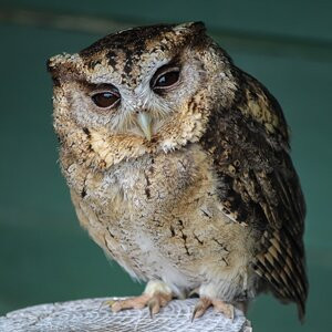 Screech Owl Sanctuary, one of the best things to do in Cornwall