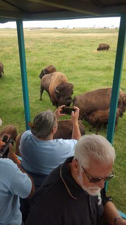 Shooting bison