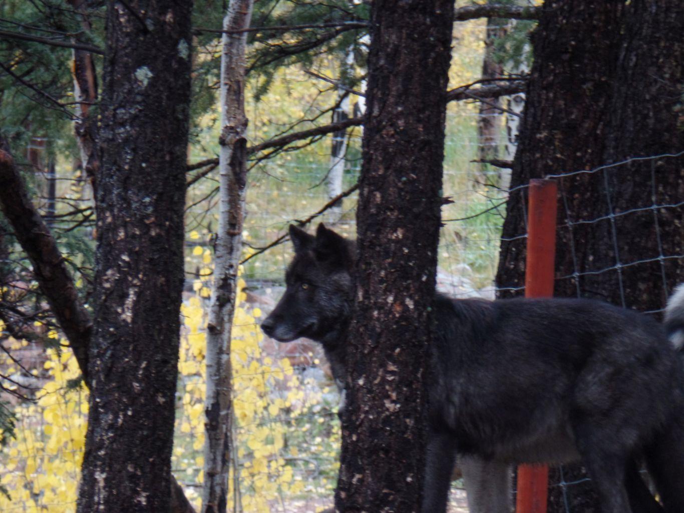 Wolf Sanctuary