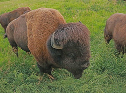 A really big bison