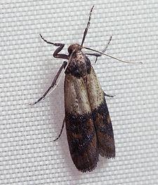 indian moth.jpg